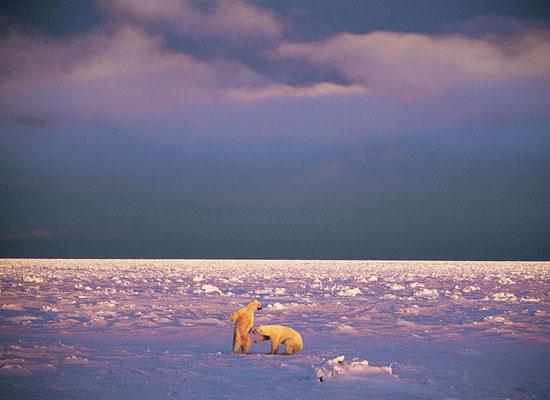 Перейти на Sparring Polar Bears, Svalbard