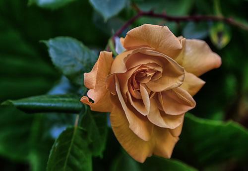 Перейти на Wild Rose