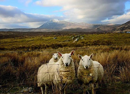 Перейти на Scottish Sheep
