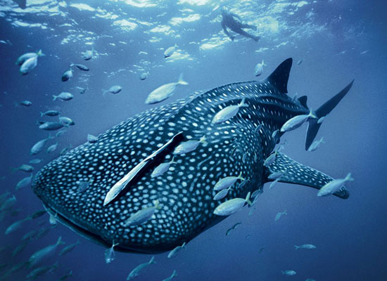 Blue Whaleshark Skerry