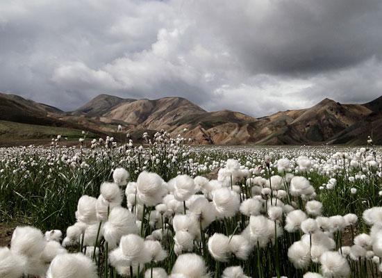 Cotton Grass Iceland