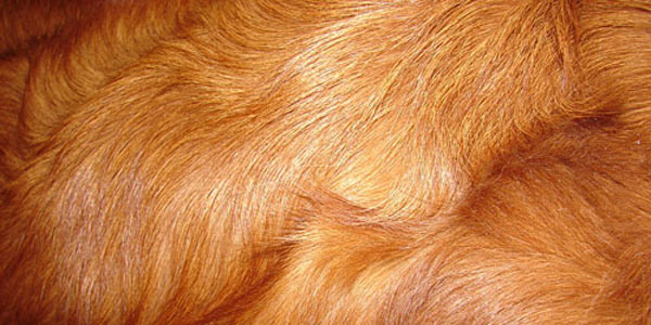 Скачать Red Retreiver Dog Fur Texture