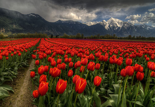 Tulips Vancouver Bc Canada