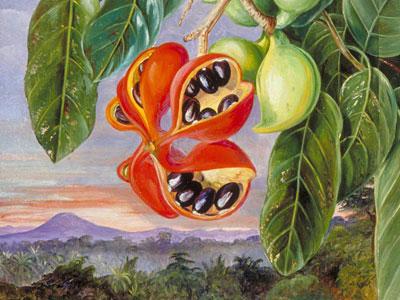Перейти на Foliage And Fruit Of Sterculia Parviflora