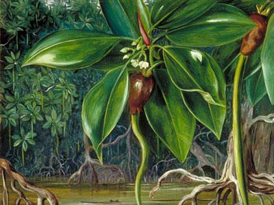 Перейти на A Mangrove Swamp In Sarawak Borneo