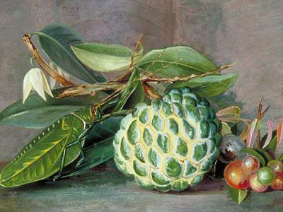 Перейти на Custard Apple Native Gooseberry Of Sarawak