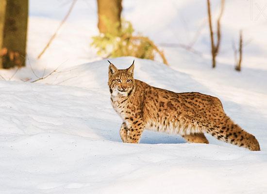 Перейти на Lynx